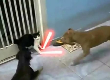 Video  DvdiV –  Animal ,  Epico Scontro tra un  Gatto e due Cani in Stile  Jedi