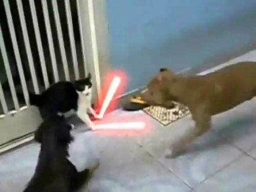 Video DvdiV – Animal , Epico Scontro tra un Gatto e due Cani in Stile Jedi