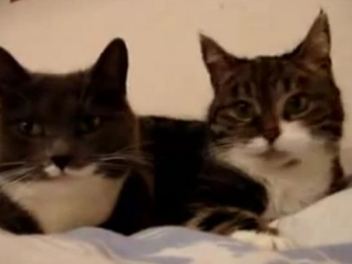 Video DvdiV – Animal , Conversazione molto Particolare tra due Gatti