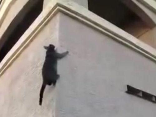 Video DvdiV – Animal , vediamo ora dei Gatti Acrobatici Incredibili