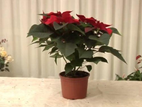 Video DvdiV – Utile , ecco come Coltivare una Stella di Natale