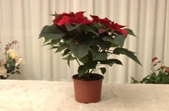 Utile , ecco come Coltivare una Stella di Natale